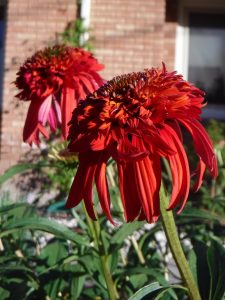 red cone flowers
